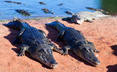 saltwater-crocodiles-5